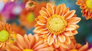 Autumn chrysanthemum,  the flower placed on graves for All Saints Day